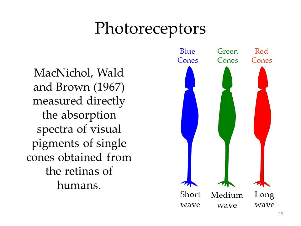28 Photoreceptors Red Cones Green Cones Long wave Medium wave Short wave MacNichol, Wald and Brown (1967) measured directly the absorption spectra of visual pigments of single cones obtained from the retinas of humans.