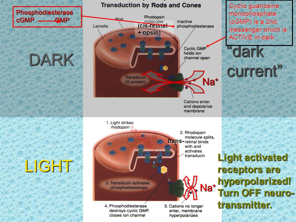 DARK LIGHT Na + dark current Na + Light activated receptors are hyperpolarized.