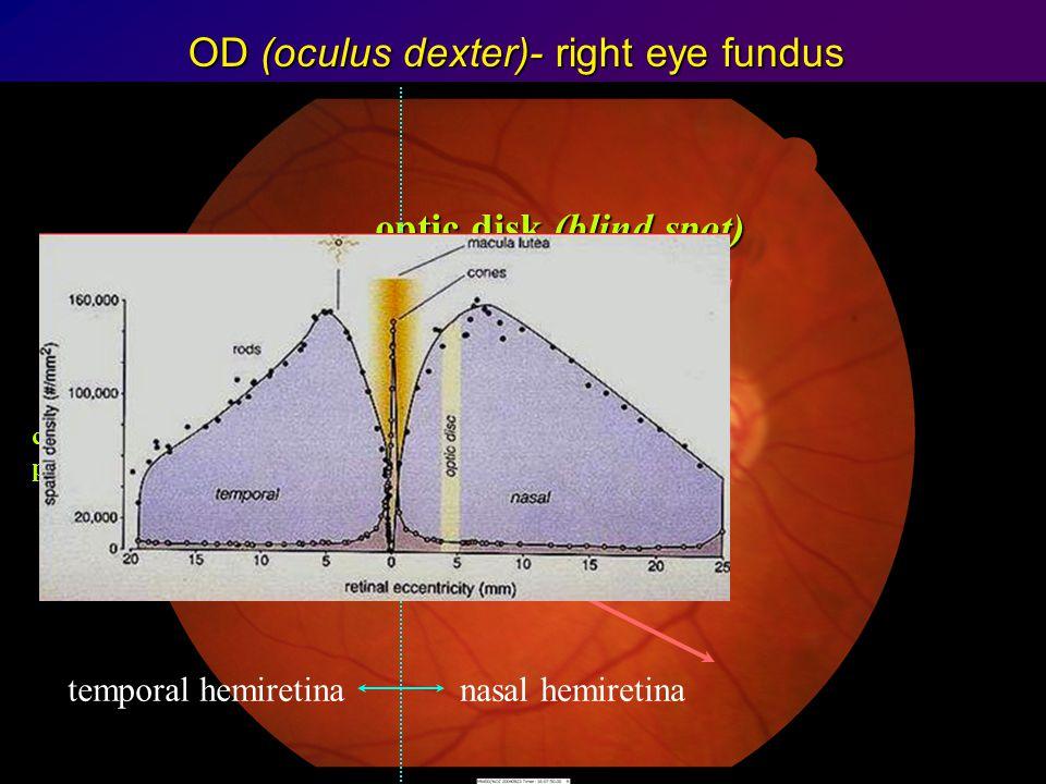 OD (oculus dexter)- right eye fundus blood vessels maculamacula foveafovea optic disk (blind spot) temporal hemiretinanasal hemiretina centralis paraf