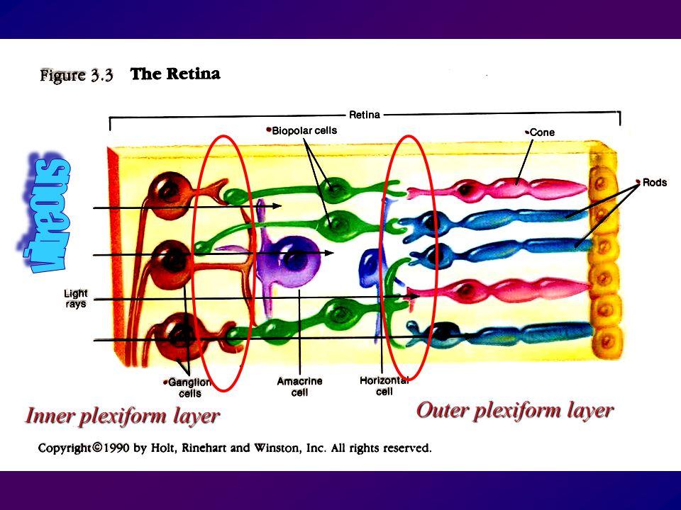Outer plexiform layer Inner plexiform layer