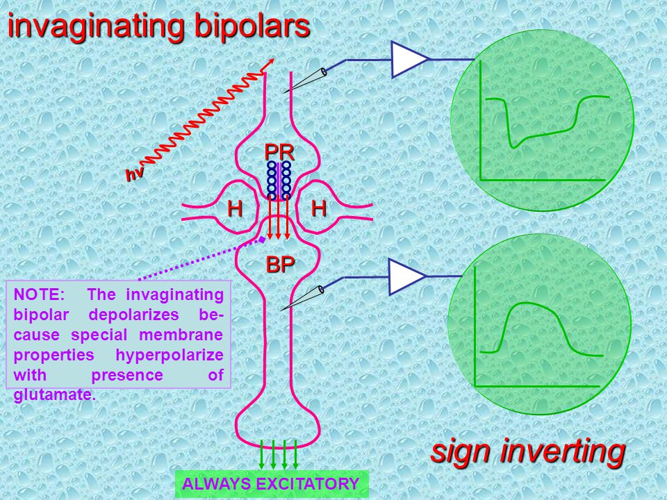 invaginating bipolars sign inverting PR H H BP NOTE: The invaginating bipolar depolarizes be- cause special membrane properties hyperpolarize with presence of glutamate.