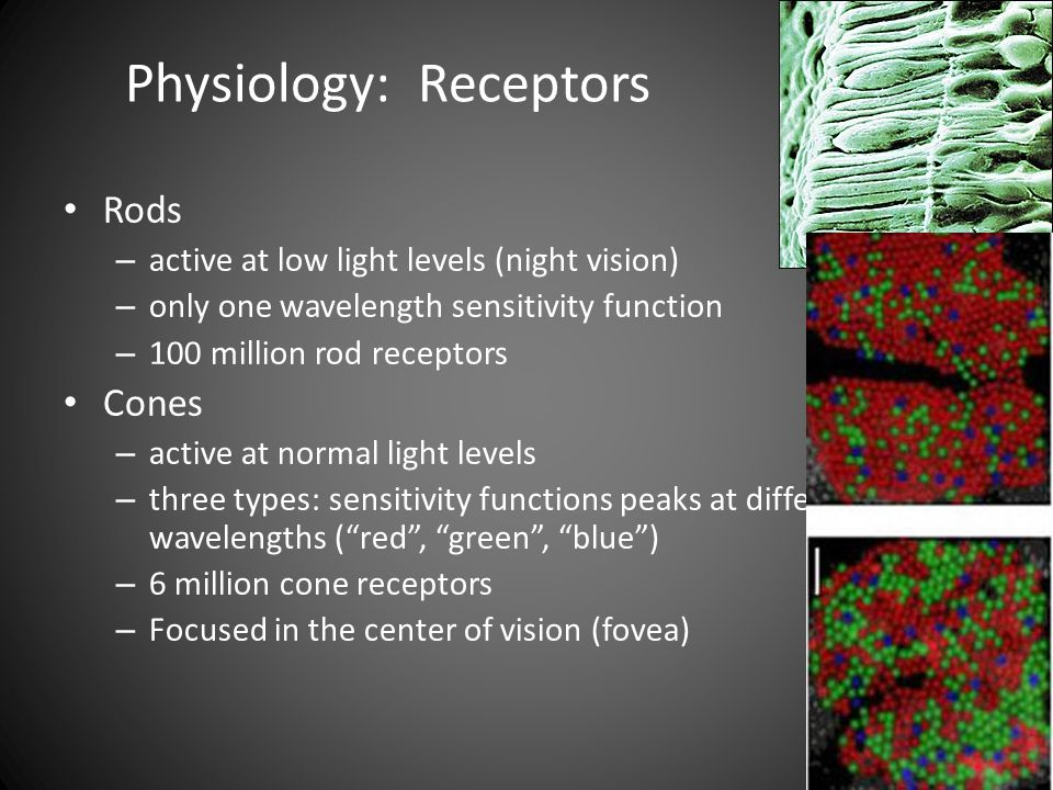 Physiology: Receptors Rods – active at low light levels (night vision) – only one wavelength sensitivity function – 100 million rod receptors Cones – active at normal light levels – three types: sensitivity functions peaks at different wavelengths ( red , green , blue ) – 6 million cone receptors – Focused in the center of vision (fovea)