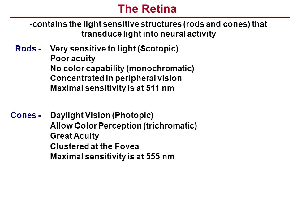 The Retina -contains the light sensitive structures (rods and cones) that transduce light into neural activity Rods - Very sensitive to light (Scotopi