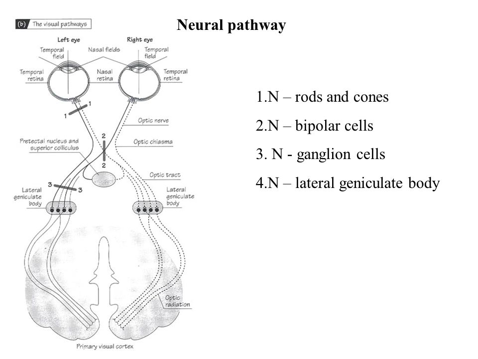 Neural pathway 1.N – rods and cones 2.N – bipolar cells 3. N - ganglion cells 4.N – lateral geniculate body