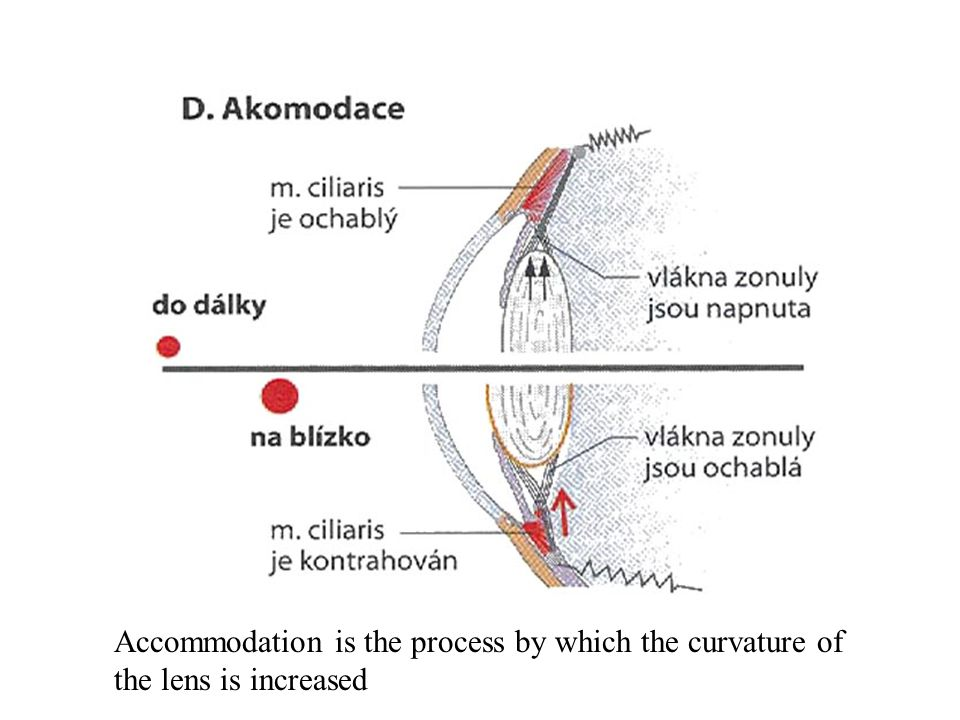 Accommodation is the process by which the curvature of the lens is increased