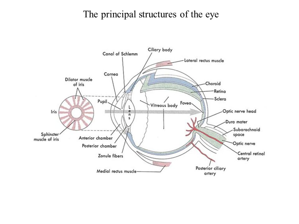 The principal structures of the eye
