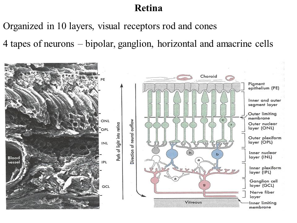 Retina Organized in 10 layers, visual receptors rod and cones 4 tapes of neurons – bipolar, ganglion, horizontal and amacrine cells