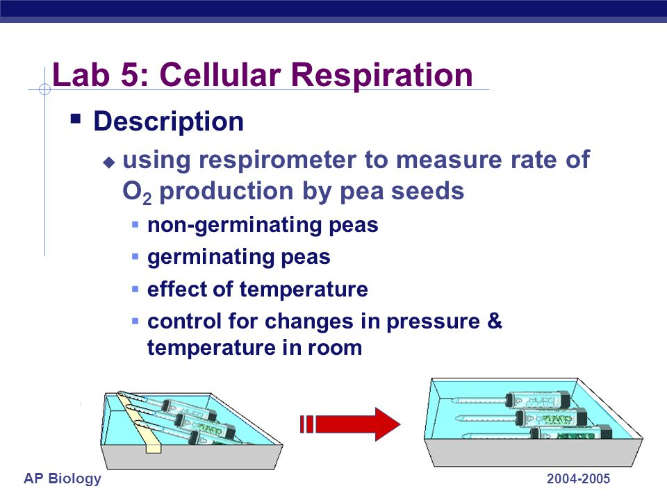 AP Biology 2004-2005 Lab 5: Cellular Respiration  Description  using respirometer to measure rate of O 2 production by pea seeds  non-germinating p
