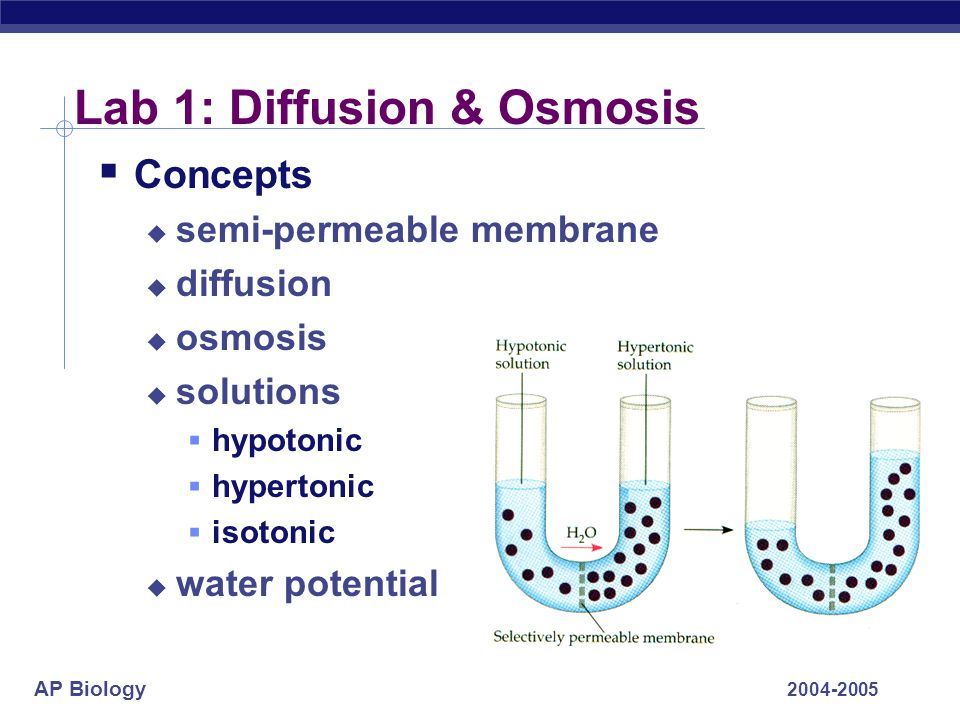 AP Biology 2004-2005 Lab 1: Diffusion & Osmosis  Conclusions  water moves from high concentration of water (hypotonic=low solute) to low concentration of water (hypertonic=high solute)  solute concentration & size of molecule affect movement through semi-permeable membrane