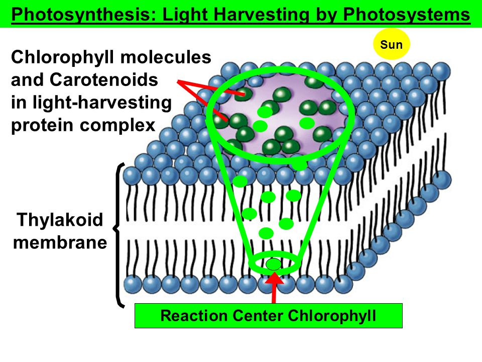 Fig. 10.6a (TEArt) Chlorophyll molecules and Carotenoids in light-harvesting protein complex Thylakoid membrane Copyright © The McGraw-Hill Companies,