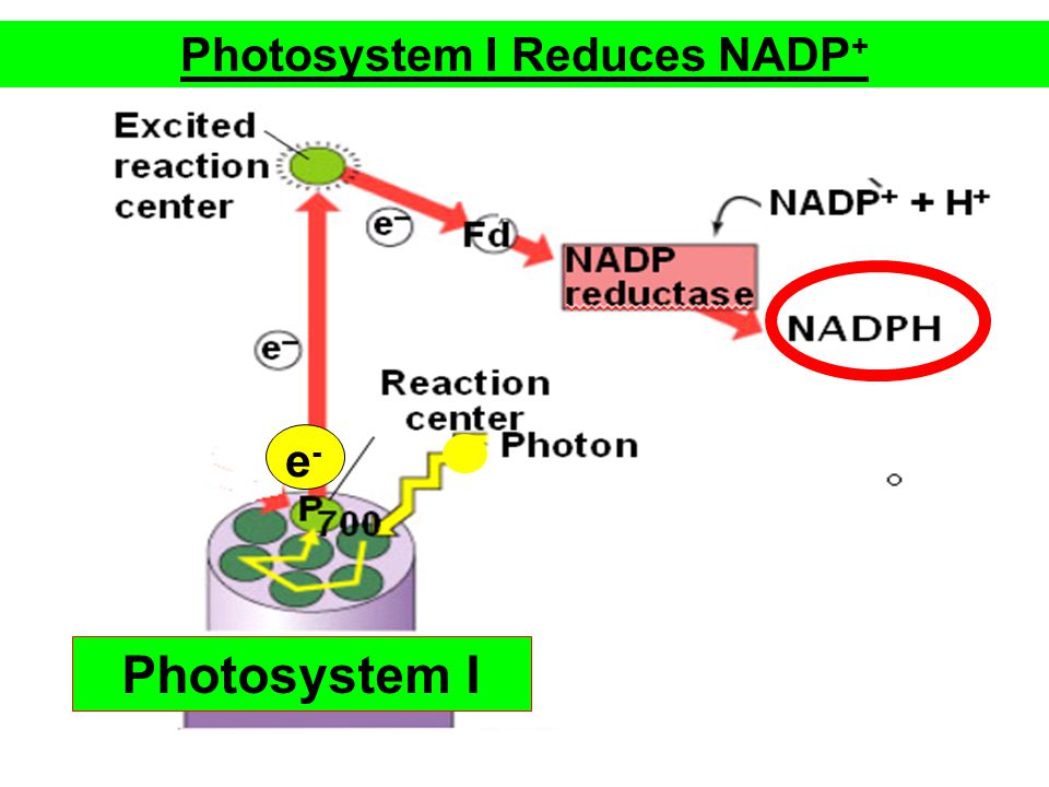 Photosystem I Reduces NADP + e-e- Photosystem I