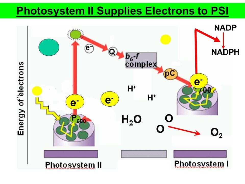 e-e- Photosystem II Supplies Electrons to PSI H2OH2O O2O2 H+H+ H+H+ e-e- O O NADPH NADP e-e-
