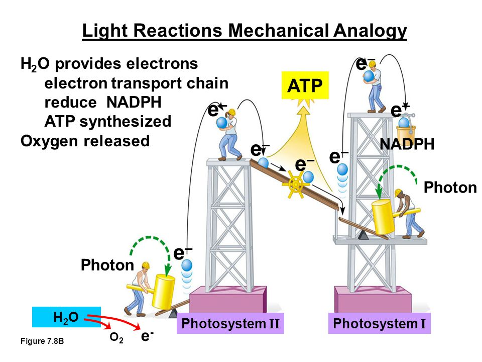 Figure 7.8B e–e– ATP Photon Photosystem II Photosystem I NADPH e–e– e–e– e–e– e–e– e–e– e–e– Light Reactions Mechanical Analogy H 2 O provides electrons electron transport chain reduce NADPH ATP synthesized Oxygen released H2OH2O O 2 e -