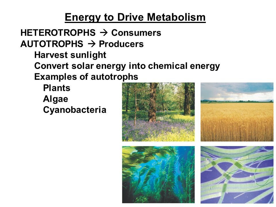Energy to Drive Metabolism HETEROTROPHS  Consumers AUTOTROPHS  Producers Harvest sunlight Convert solar energy into chemical energy Examples of autotrophs Plants Algae Cyanobacteria