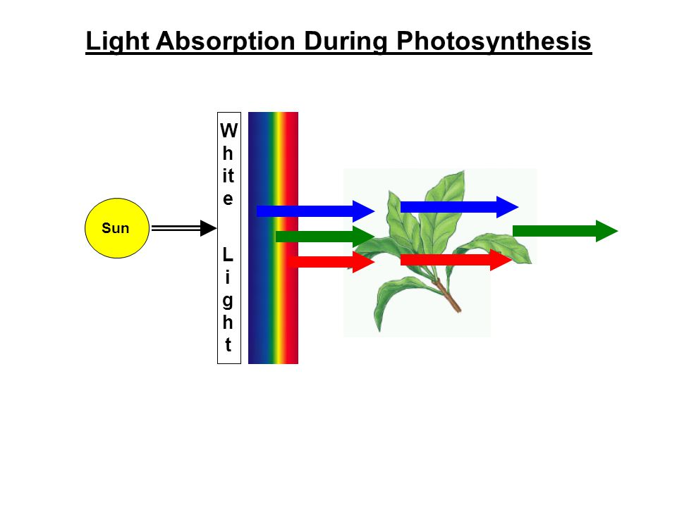 Light Absorption During Photosynthesis W h it e L i gh t Sun