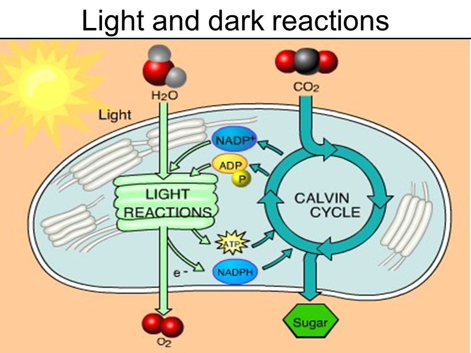 Light Reactions Takes place on thylakoids Electrons excited from chlorophyll Water is split to donate the electrons.