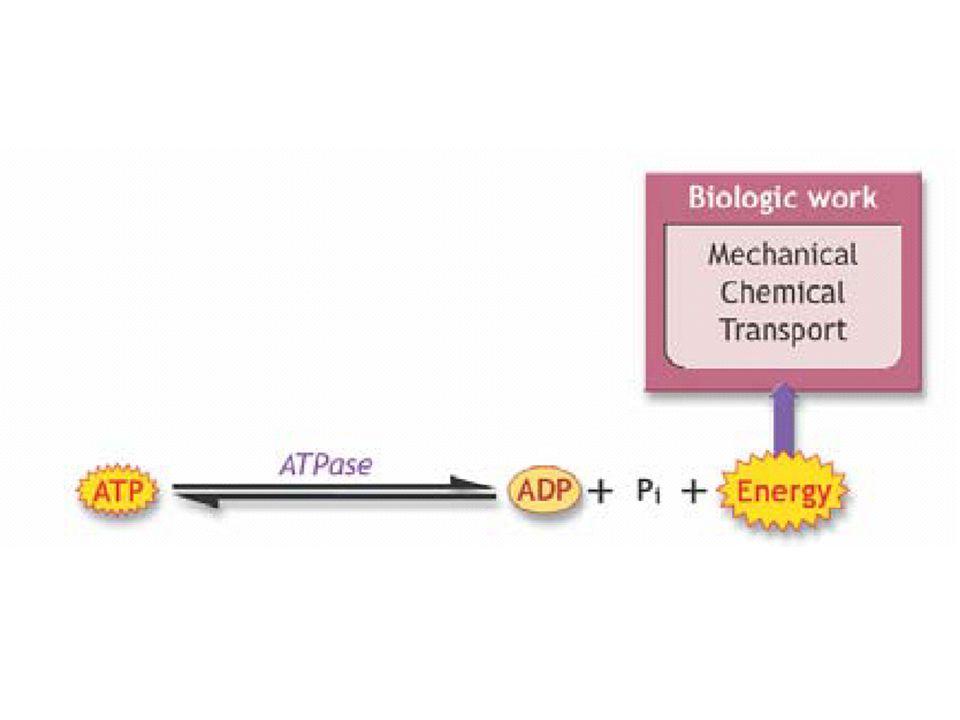 ATP ATP: Adenosine Tri-phosphate ADP: Adenosine Di-phosphate AMP: Adenosine Mono-phosphate
