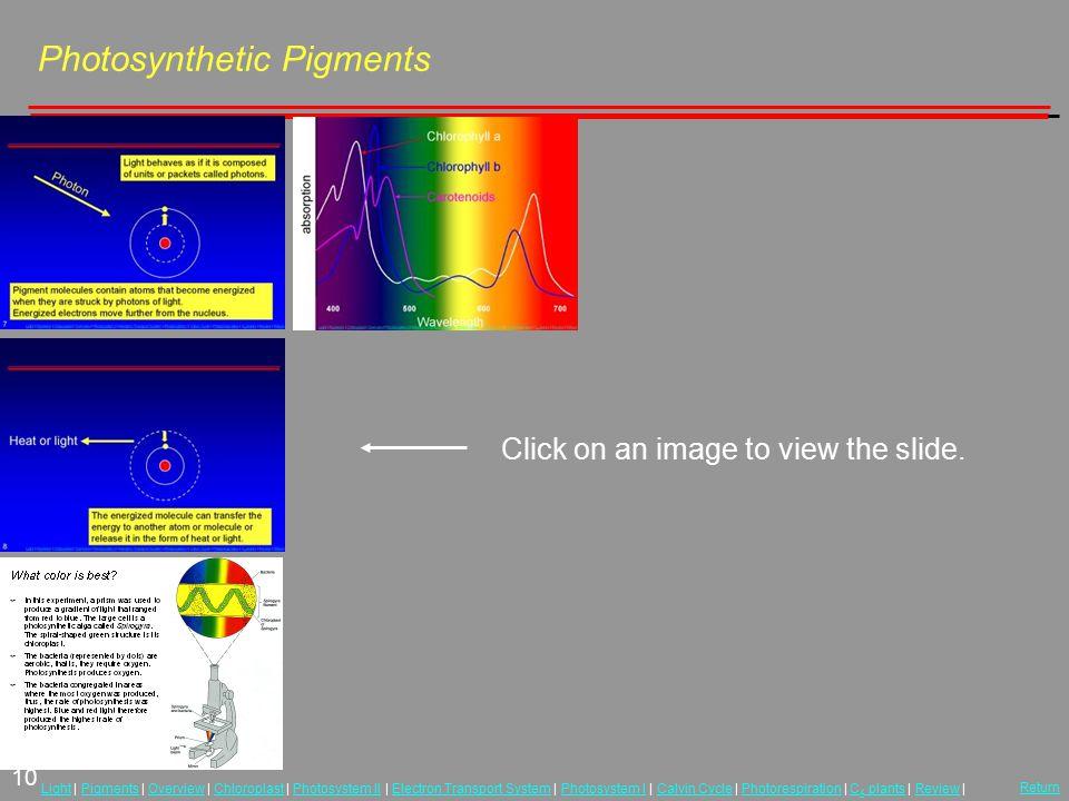 10 LightLight | Pigments | Overview | Chloroplast | Photosystem II | Electron Transport System | Photosystem I | Calvin Cycle | Photorespiration | C 4
