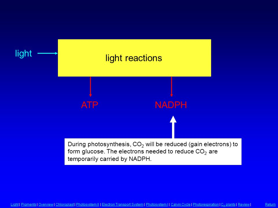Light Reactions light reactions During photosynthesis, CO 2 will be reduced (gain electrons) to form glucose.