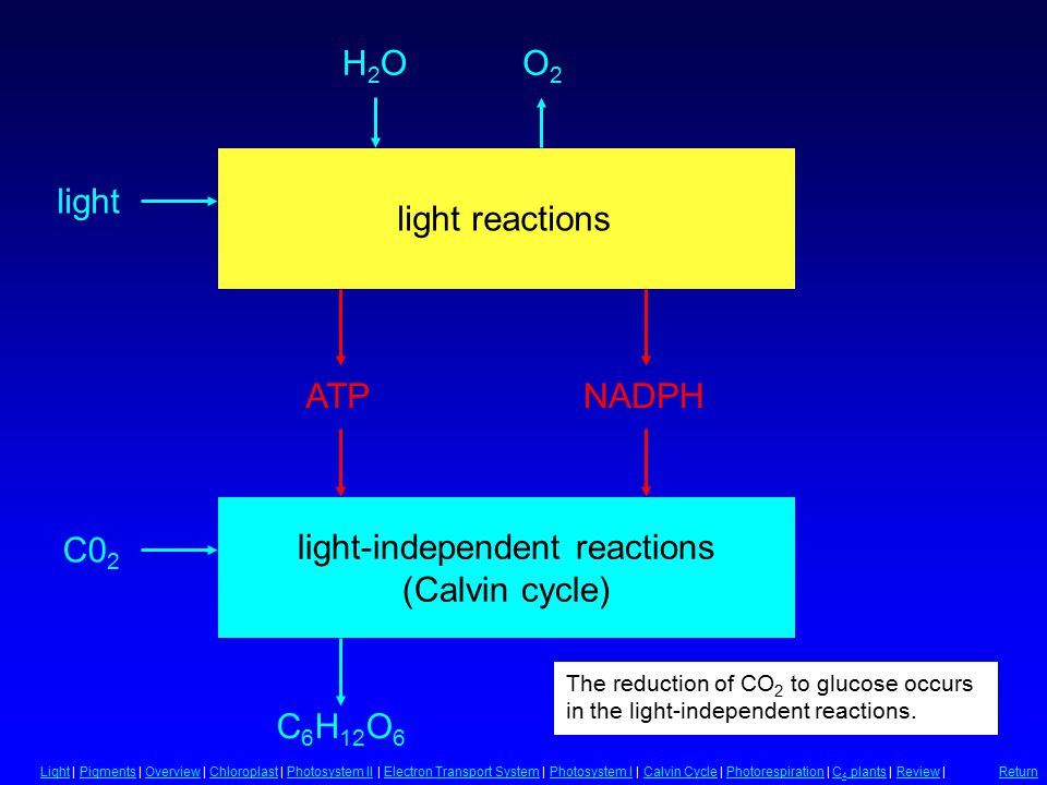 Light-Independent Reactions light-independent reactions (Calvin cycle) C 6 H 12 O 6 C0 2 The reduction of CO 2 to glucose occurs in the light-independent reactions.