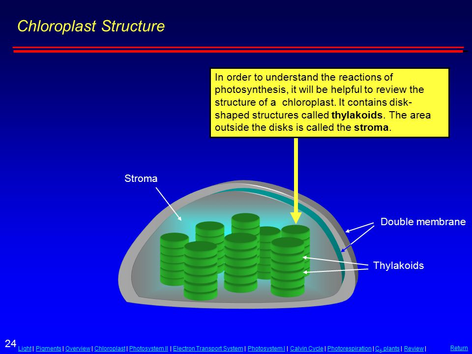24 LightLight | Pigments | Overview | Chloroplast | Photosystem II | Electron Transport System | Photosystem I | Calvin Cycle | Photorespiration | C 4 plants | Review |PigmentsOverviewChloroplastPhotosystem IIElectron Transport SystemPhotosystem ICalvin CyclePhotorespirationC 4 plantsReview Return Chloroplast Structure Thylakoids Double membrane Stroma In order to understand the reactions of photosynthesis, it will be helpful to review the structure of a chloroplast.