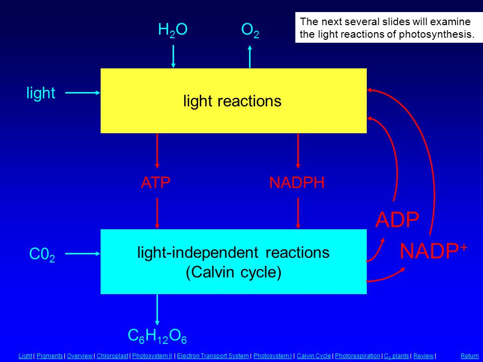 Summary of Photosynthesis light-independent reactions (Calvin cycle) C 6 H 12 O 6 C0 2 H2OH2OO2O2 light reactions ATPNADPH light LightLight | Pigments | Overview | Chloroplast | Photosystem II | Electron Transport System | Photosystem I | Calvin Cycle | Photorespiration | C 4 plants | Review |PigmentsOverviewChloroplastPhotosystem IIElectron Transport SystemPhotosystem ICalvin CyclePhotorespirationC 4 plantsReview Return ADP NADP + The next several slides will examine the light reactions of photosynthesis.