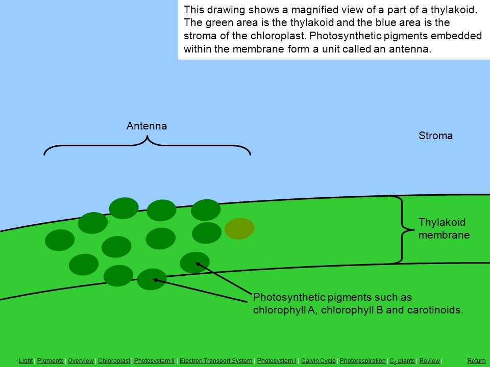 Antenna Thylakoid membrane This drawing shows a magnified view of a part of a thylakoid. The green area is the thylakoid and the blue area is the stro