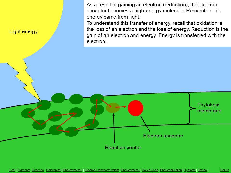 Reaction Center, Electron Acceptor Thylakoid membrane As a result of gaining an electron (reduction), the electron acceptor becomes a high-energy molecule.