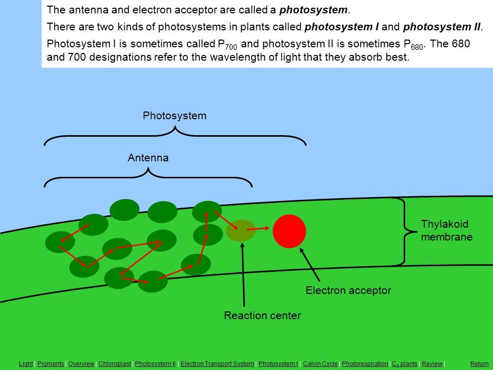 Antenna, Photosystem Antenna Reaction center Electron acceptor Photosystem Thylakoid membrane The antenna and electron acceptor are called a photosyst