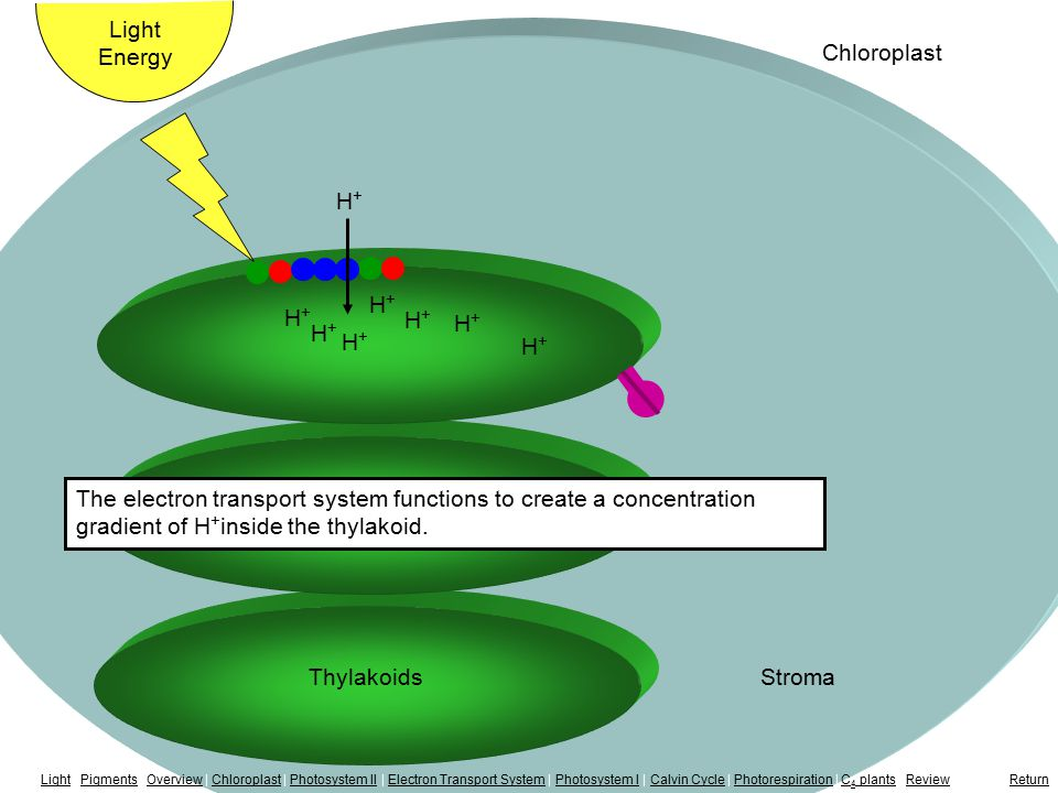 Electron Transport System H+H+ H+H+ H+H+ H+H+ H+H+ Light Energy Chloroplast The electron transport system functions to create a concentration gradient of H + inside the thylakoid.