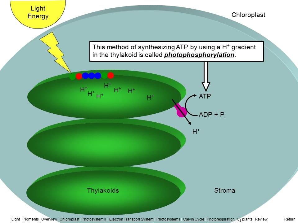 Photophosphorylation H+H+ H+H+ H+H+ H+H+ H+H+ Light Energy Chloroplast H+H+ H+H+ H+H+ ThylakoidsStroma ATP ADP + P i This method of synthesizing ATP by using a H + gradient in the thylakoid is called photophosphorylation.