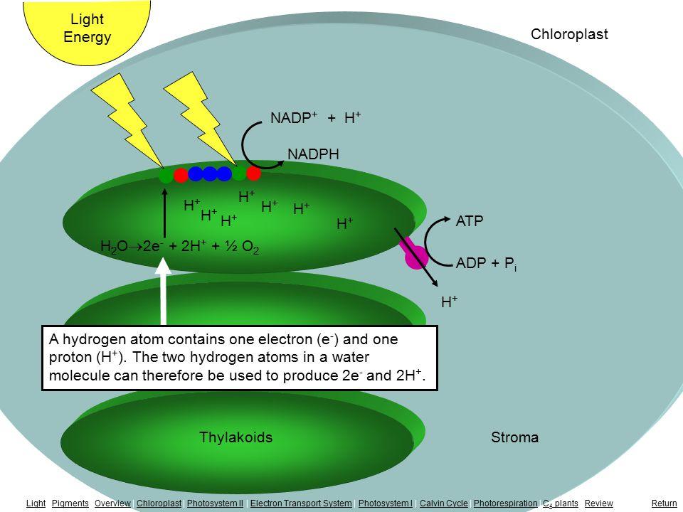 Splitting H 2 O H+H+ H+H+ H+H+ H+H+ H+H+ ThylakoidsStroma Light Energy Chloroplast H+H+ H+H+ H+H+ NADP + + H + NADPH H 2 O  2e - + 2H + + ½ O 2 A hyd