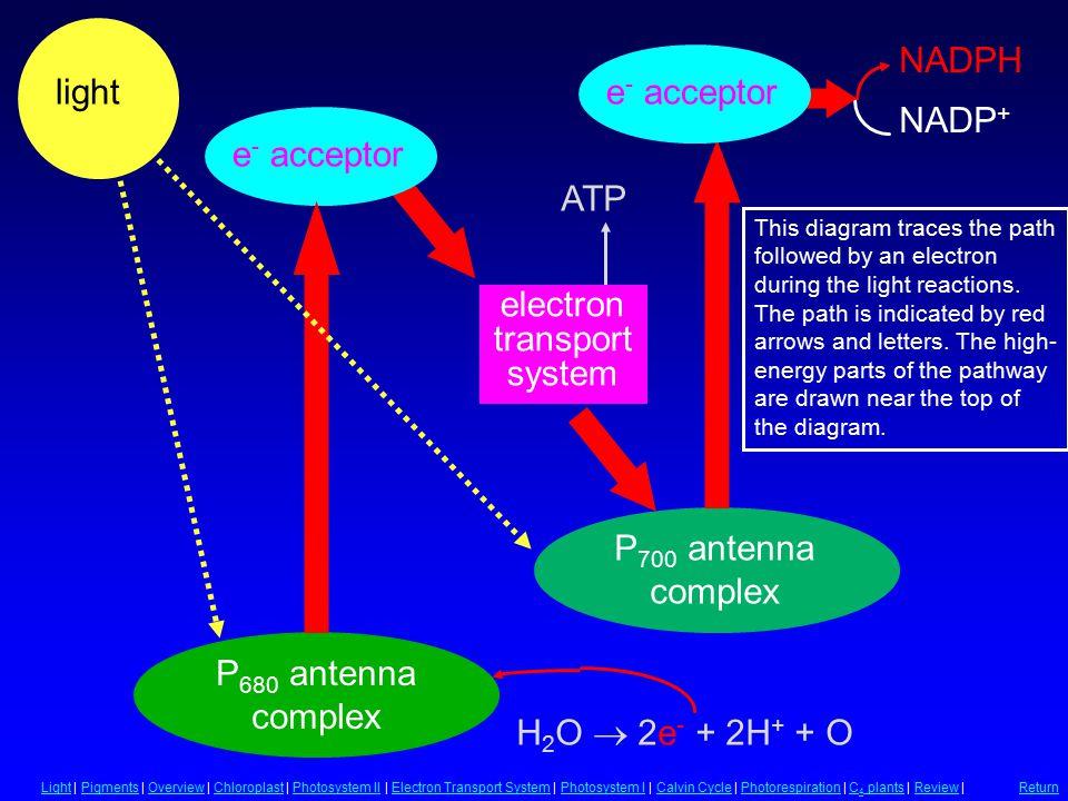 Summary of Light Reactions e - acceptor light NADPH NADP + electron transport system ATP H 2 O  2e - + 2H + + O e - acceptor P 680 antenna complex P
