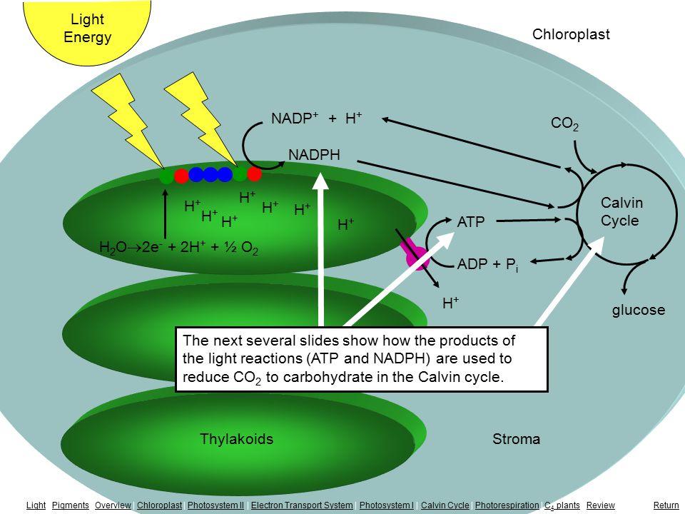 Calvin Cycle H+H+ H+H+ H+H+ H+H+ H+H+ ThylakoidsStroma Light Energy Chloroplast H+H+ H+H+ H+H+ NADP + + H + NADPH H 2 O  2e - + 2H + + ½ O 2 glucose
