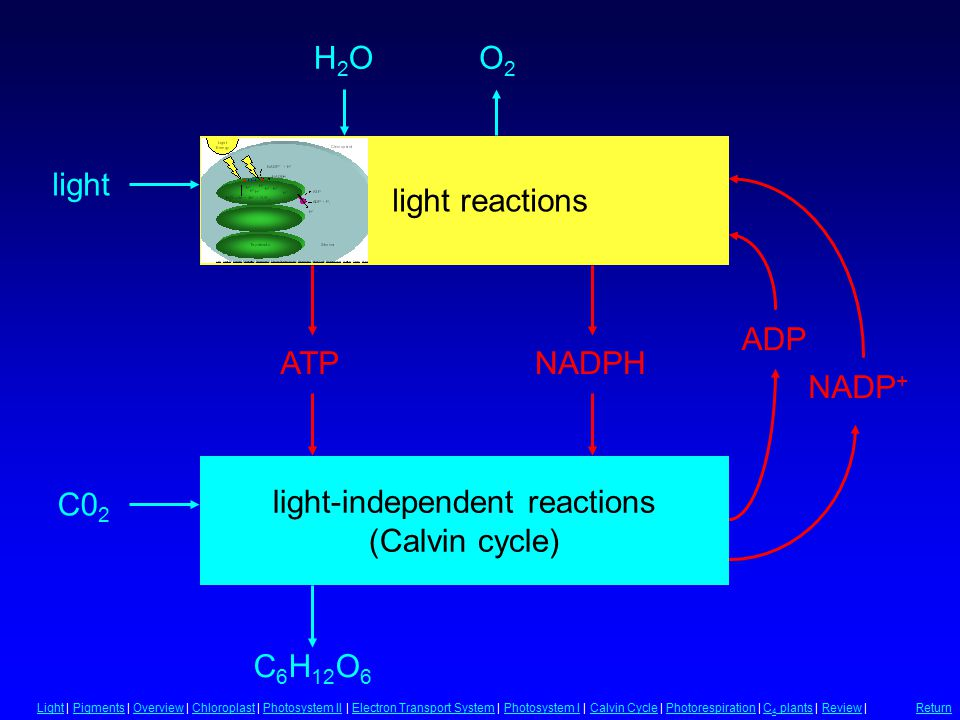 Summary of Photosynthesis ADP NADP + light-independent reactions (Calvin cycle) C 6 H 12 O 6 C0 2 H2OH2OO2O2 light reactions ATPNADPH light LightLight | Pigments | Overview | Chloroplast | Photosystem II | Electron Transport System | Photosystem I | Calvin Cycle | Photorespiration | C 4 plants | Review |PigmentsOverviewChloroplastPhotosystem IIElectron Transport SystemPhotosystem ICalvin CyclePhotorespirationC 4 plantsReview Return