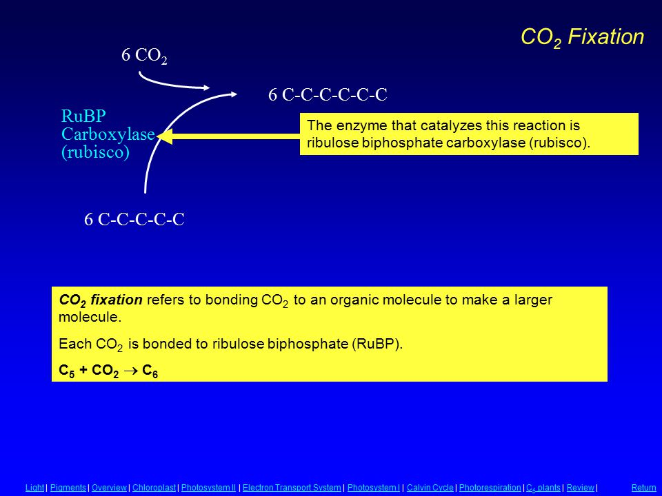 RuBP Carboxylase (rubisco) 6 C-C-C-C-C 6 CO 2 6 C-C-C-C-C-C CO 2 Fixation CO 2 fixation refers to bonding CO 2 to an organic molecule to make a larger molecule.