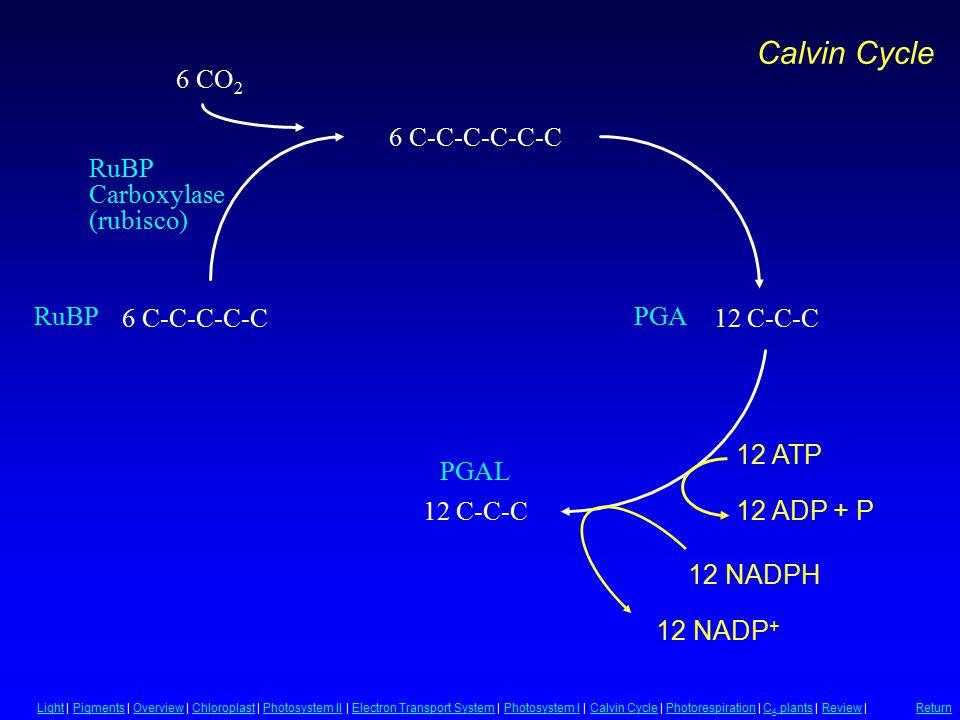 PGA PGAL RuBP Carboxylase (rubisco) 12 C-C-C 6 C-C-C-C-C 6 CO 2 6 C-C-C-C-C-C 12 C-C-C 12 ATP 12 NADPH 12 NADP + 12 ADP + P LightLight | Pigments | Ov