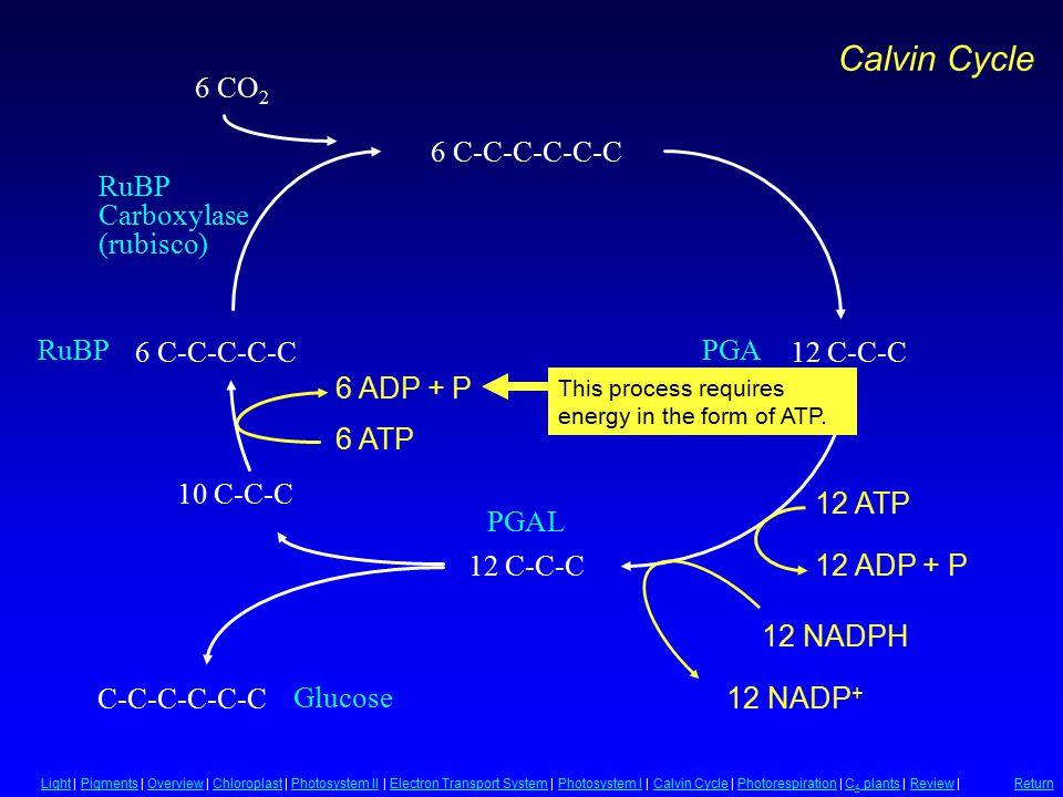 PGA PGAL Glucose RuBP Carboxylase (rubisco) 12 C-C-C C-C-C-C-C-C 6 C-C-C-C-C 6 CO 2 6 C-C-C-C-C-C 12 C-C-C 10 C-C-C 6 ADP + P 6 ATP 12 ATP 12 NADPH 12