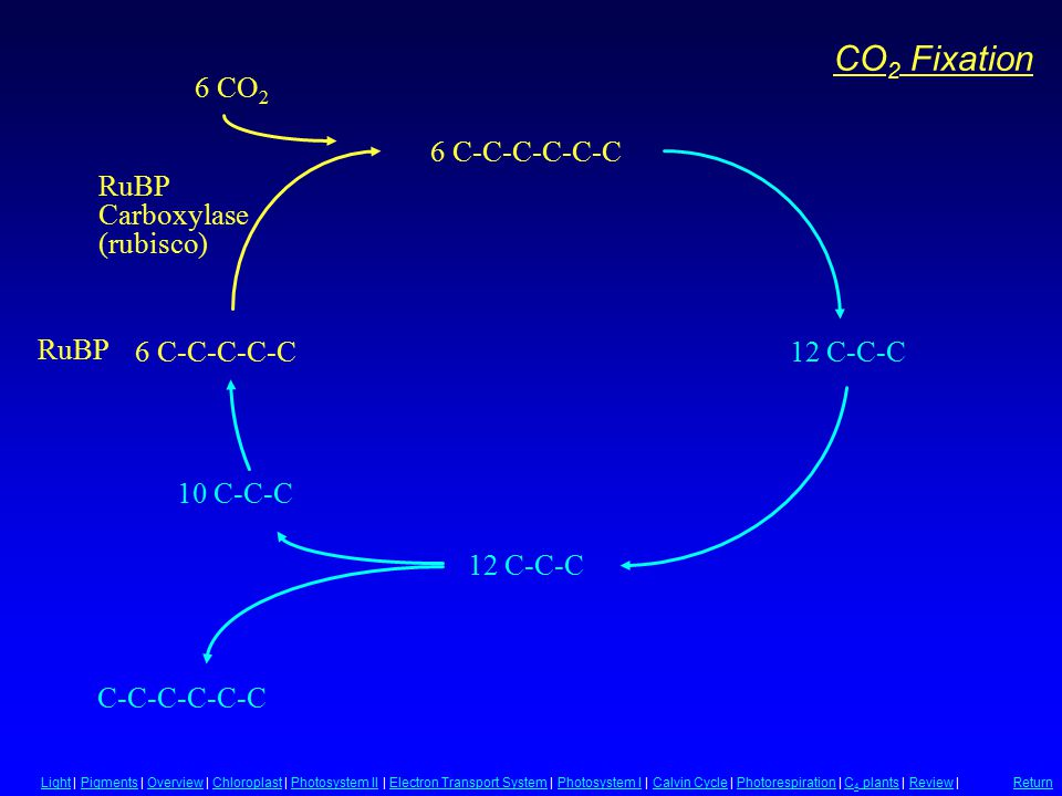 CO 2 Fixation RuBP Carboxylase (rubisco) 12 C-C-C C-C-C-C-C-C 6 C-C-C-C-C 6 C-C-C-C-C-C 12 C-C-C 6 CO 2 10 C-C-C LightLight | Pigments | Overview | Ch