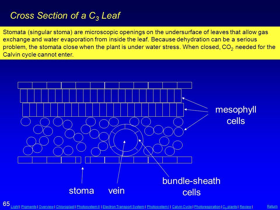 65 LightLight | Pigments | Overview | Chloroplast | Photosystem II | Electron Transport System | Photosystem I | Calvin Cycle | Photorespiration | C 4