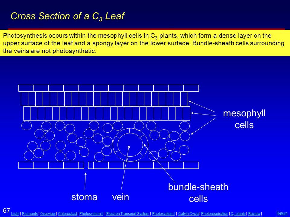 67 LightLight | Pigments | Overview | Chloroplast | Photosystem II | Electron Transport System | Photosystem I | Calvin Cycle | Photorespiration | C 4