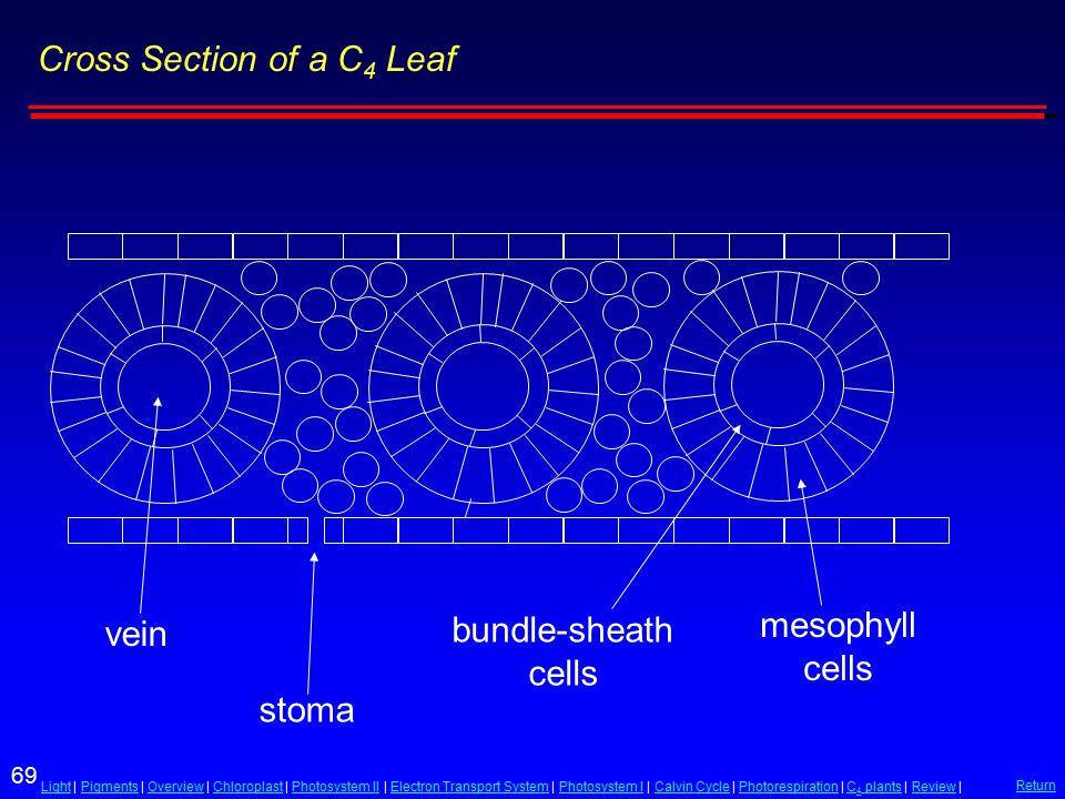 69 LightLight | Pigments | Overview | Chloroplast | Photosystem II | Electron Transport System | Photosystem I | Calvin Cycle | Photorespiration | C 4