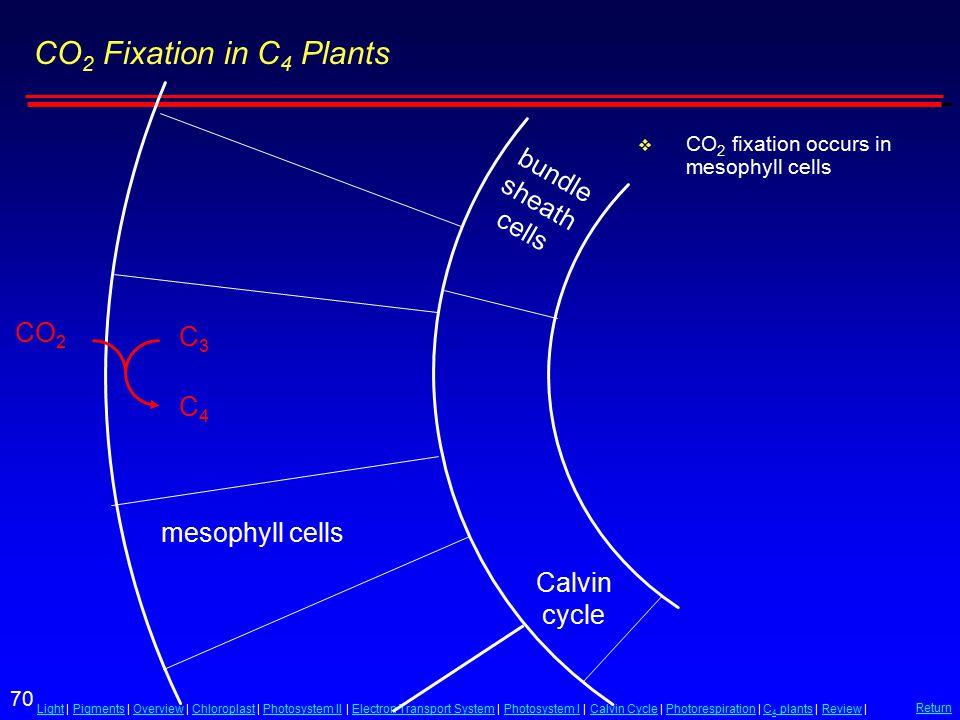 70 LightLight | Pigments | Overview | Chloroplast | Photosystem II | Electron Transport System | Photosystem I | Calvin Cycle | Photorespiration | C 4