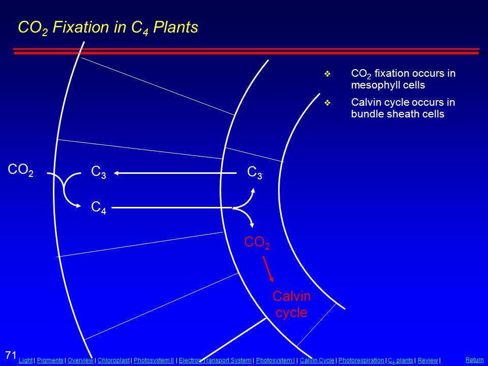 71 LightLight | Pigments | Overview | Chloroplast | Photosystem II | Electron Transport System | Photosystem I | Calvin Cycle | Photorespiration | C 4