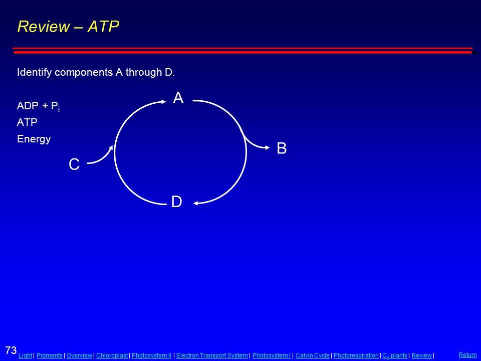 73 LightLight | Pigments | Overview | Chloroplast | Photosystem II | Electron Transport System | Photosystem I | Calvin Cycle | Photorespiration | C 4