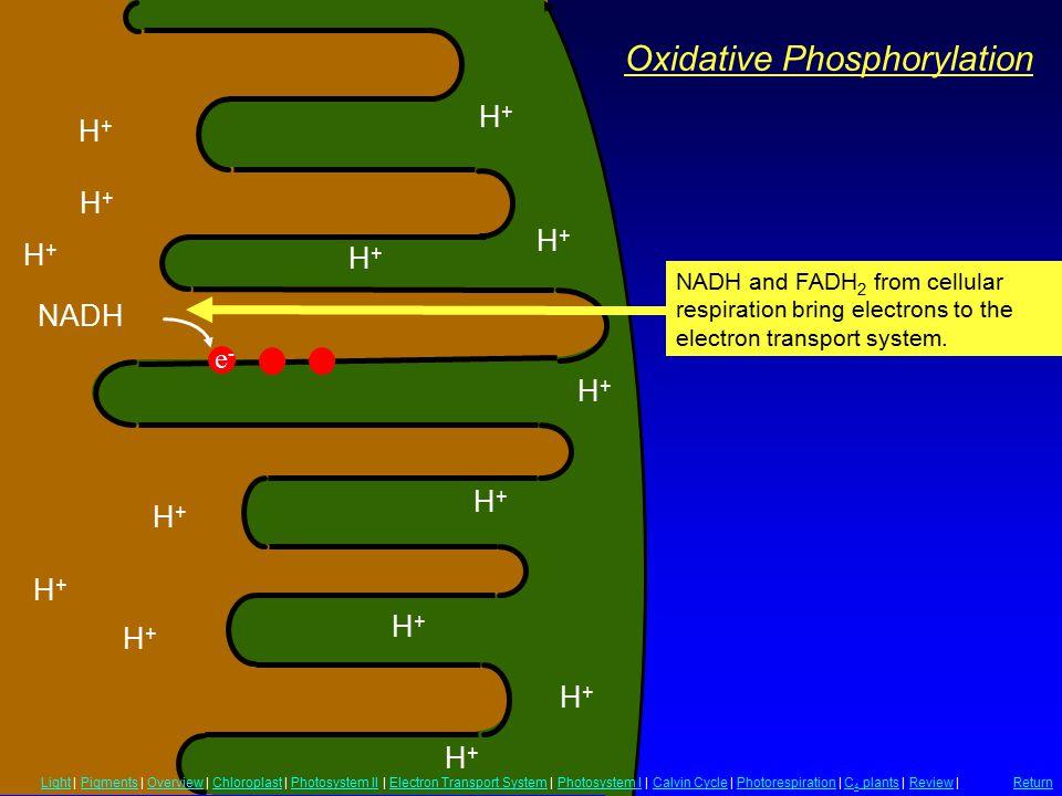 Oxidative Phosphorylation H+H+ H+H+ H+H+ H+H+ H+H+ H+H+ H+H+ H+H+ H+H+ H+H+ H+H+ H+H+ H+H+ H+H+ NADH NADH and FADH 2 from cellular respiration bring e
