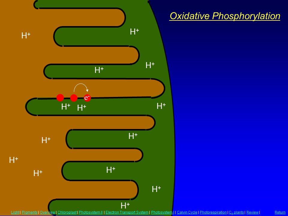 Oxidative Phosphorylation H+H+ H+H+ H+H+ H+H+ H+H+ H+H+ H+H+ H+H+ H+H+ H+H+ H+H+ H+H+ H+H+ H+H+ e-e- LightLight | Pigments | Overview | Chloroplast | Photosystem II | Electron Transport System | Photosystem I | Calvin Cycle | Photorespiration | C 4 plants | Review |PigmentsOverviewChloroplastPhotosystem IIElectron Transport SystemPhotosystem ICalvin CyclePhotorespirationC 4 plantsReview Return