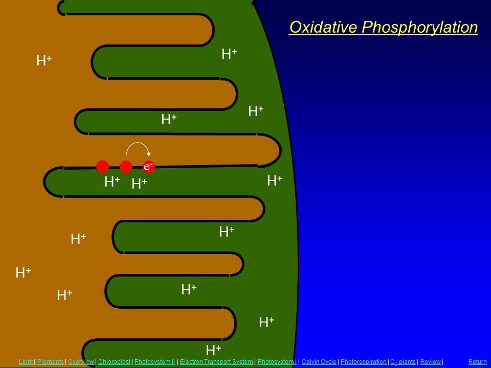 Oxidative Phosphorylation H+H+ H+H+ H+H+ H+H+ H+H+ H+H+ H+H+ H+H+ H+H+ H+H+ H+H+ H+H+ H+H+ H+H+ e-e- LightLight | Pigments | Overview | Chloroplast |