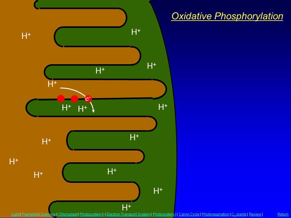 Oxidative Phosphorylation H+H+ H+H+ H+H+ H+H+ H+H+ H+H+ H+H+ H+H+ H+H+ H+H+ H+H+ H+H+ H+H+ H+H+ H+H+ e-e- LightLight | Pigments | Overview | Chloropla