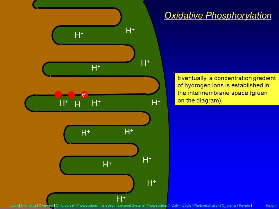 Oxidative Phosphorylation H+H+ H+H+ H+H+ H+H+ H+H+ H+H+ H+H+ H+H+ H+H+ H+H+ H+H+ H+H+ H+H+ H+H+ Eventually, a concentration gradient of hydrogen ions